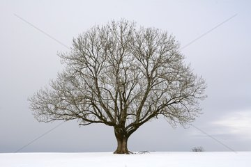 isolated majestic tree in a snowy field - Montandon - Doubs - France