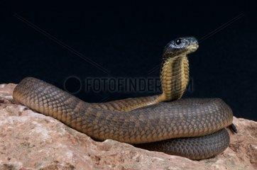 Arabian cobra (Naja arabica)  Saudi Arabia