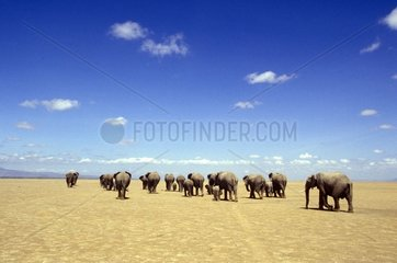 Group of Elephants migrating in savanna under the dryness