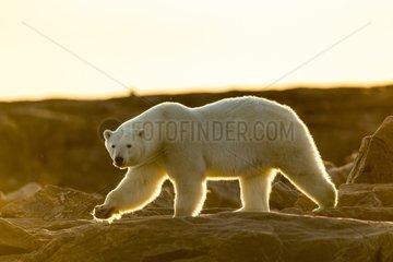 Setting midnight sun lights Polar Bear (Ursus maritimus) walking along rocky shoreline by Hudson Bay  Nunavut Territory  Canada