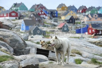 Denmark. Greenland. West coast. Sled dogs in the village of Aasiaat.