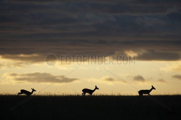 Impalas at twilight Masai Mara Kenya