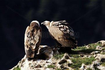 Couple de Vautour fauve posé Gorges du Tarn France