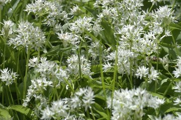 Ramsons in natural sensitive area of the meander Saugey