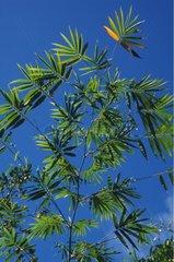 Feuilles linéaires denses du bambou commun Guadeloupe