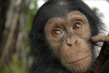 Portrait of a young Chimpanzee of approximately 2 years