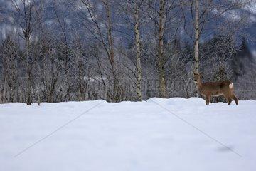Roe surprised in the snow Lawnes Flatanger Norway
