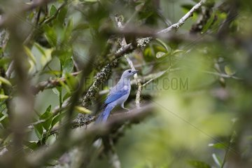 Blue-grey Tanager posed on a branch Venezuela