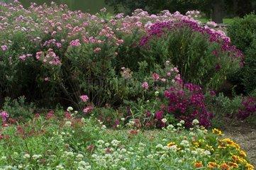 Aster d'automne en mélange dans un jardin