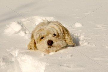Dog Tulear Cotton in snow