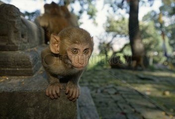 Young Rhesus monkey intrigued in a temple Nepal
