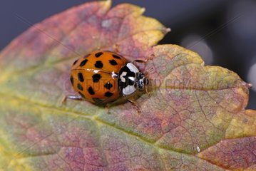 Asian Ladybird adult on a leaf France