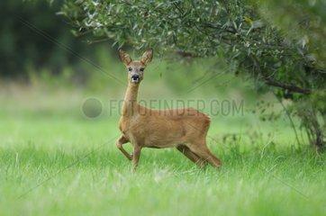 European Roe Deer in meadow France