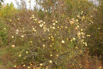 Fruits du Cognassier Pépinières botaniques de la Preille