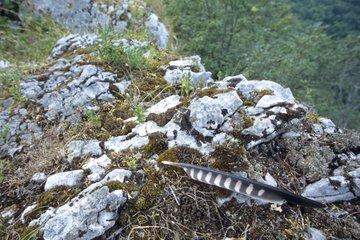 Plume d'une jeune Faucon pèlerin sur une corniche rocheuse