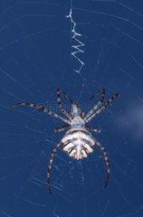 Araignée argiope en plein repas au Maroc