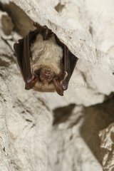 Suspended Mouse-eared Bat - Annual Census of bats in hibernation sites (caverns).