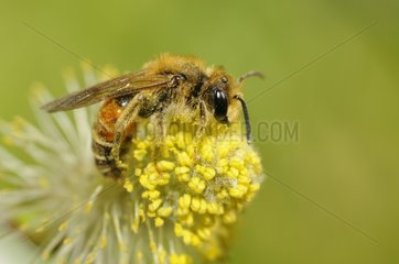 Mining Bee (Andrena variabilis) male on Willow catkin (Salix alba)  13 April 2015  Northern Vosges Regional Nature Park  France  ranked World Biosphere Reserve by UNESCO  France