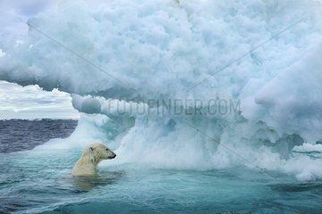 Underwater view of Polar Bear (Ursus maritimus) swimming near Arctic Circle along Hudson Bay  Nunavut Territory  Canada