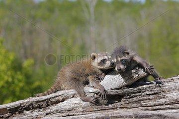 Young Raccons lying on a trunk Minnesota USA