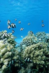 Banc de poissons dans un récif corallien Rangiroa