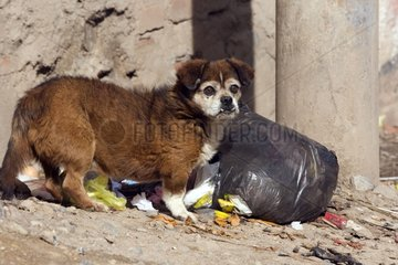 Dog surprised ripping a dustbin Puno Peru