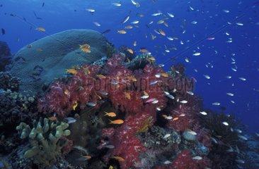 Récif coralien aux Iles Fidji
