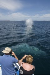 Tourists photographing a blue whale Gulf of California