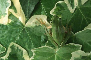 Stripless tree frog on variegated leaves Ivy Nice France