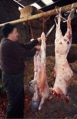 Abattage du mouton selon les rites religieux musulmans