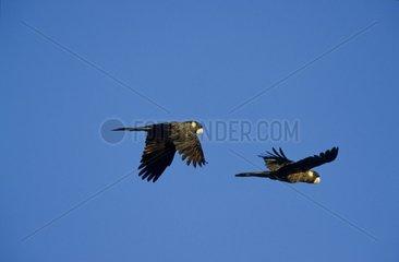 Cacatoès de Baudin en vol Parc national de Yanchep Australie