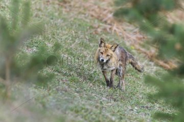 Red fox suffering from sarcoptic mange - Vosges France