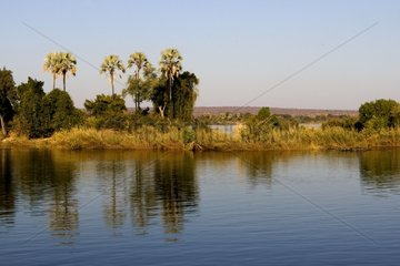 Palm trees on the rives of Zambezi river Zimbabwe