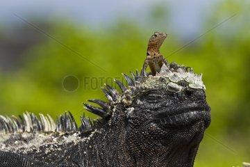 Lava lizard on top of marine iguana - Galapagos Islands