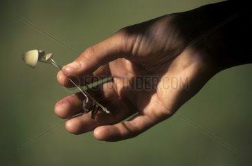 Hand holding magic mushroomsp