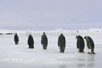 Emperor penguins walking on the ice Antarctica