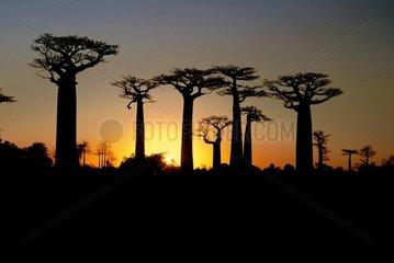 Crépuscule sur l'allée des Baobabs Madagascar