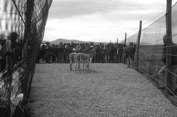 Vicugnas caught for mowing Ciaccu Altiplano Peru