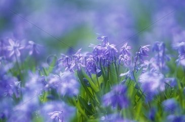 Bloom of Siberian Squills Lower Saxony Germany