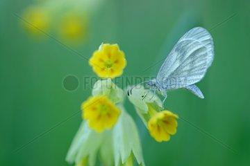 Green-veined White on Primrose - Prairies du Fouzon France