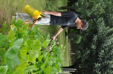 Spraying of milk based treatment in the garden
