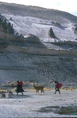 Transportation wool Alpagas Altiplano Peru