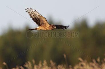 Hen Harrier juvenile in flight - Finland