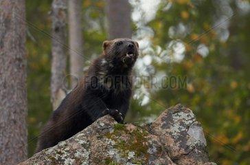 Eurasian Wolverine on rocks - Finland