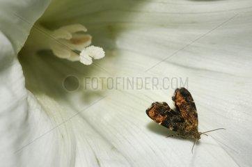 Silver-dot Twitcher in Bindweed flower-Vosges du Nord France