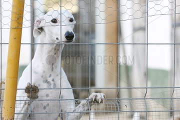 Greyhound in a shelter for abused dogs in Spain