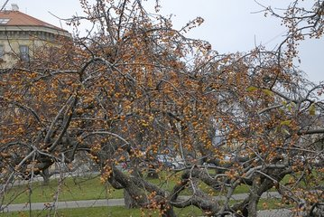 Fruits of the Redbud Crabapple Prague Republic Czech