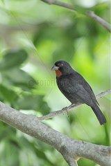 Lesser Antillean Bullfinch Martinique