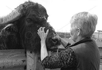 Protector of animals fondling a Buffalo Naples Italy