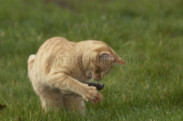 Young Red Tigray Cat playing with a Shrew Britanny